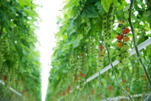 Lietuvoje jau sodinami egzotiniai pomidorai, juos užmegzti padės kamanės