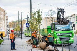 Kaunas toliau žaliuoja: naujieji medžiai – jau ir Vytauto prospekte