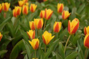 Botanikos sode – didžiausia tulpių ekspozicija per pastaruosius 20 metų