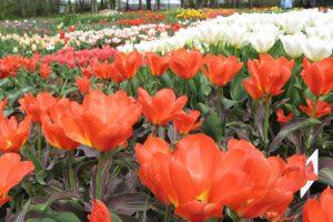 Kauno botanikos sode skleidžiasi pavasario karalienė – tulpė