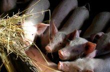 Per savaitę – keturi nauji kiaulių maro židiniai ūkiuose