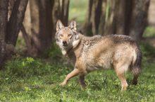 Visuomenininkai ragina nedidinti vilkų medžioklės kvotų, Vyriausybė planų nekeičia