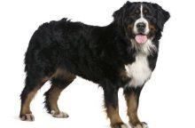 Berno kalnų šuo – keturkojis, turintis įgimtą norą dirbti