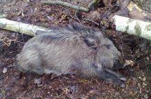 Ligos sienų nepaiso – afrikinis kiaulių maras nustatytas ir Belgijoje