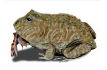Didelės varlės ėdė dinozaurus ir krokodilus