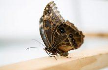 Kaip atrodo drugelio sparnas pro mikroskopą?