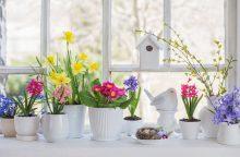 Ant palangės – spalvingas pavasaris: ką daryti, kad gėlės džiugintų kuo ilgiau?