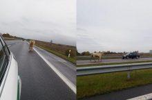 Neįtikėtina: automagistralėje blaškėsi bulius
