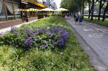 Klaipėdiečiai pasipiktinę: vietoj gėlių – piktžolės