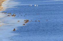 Į pamarį sugrįžę paukščiai pranašauja pavasarį