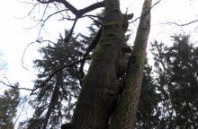 Dubravos dvyniai – ąžuolo ir pušies meilės istorija