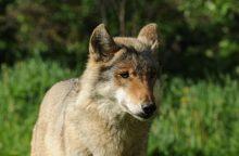 Vilkai vėl pradėjo pjauti naminius gyvulius