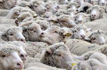 Pietų Prancūzijoje išsigandusios lokio į tarpeklį nukrito 200 avių