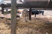 Nubaustas gyvulius kankinęs Kauno rajono ūkininkas