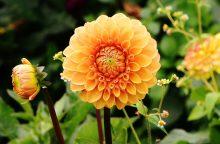 Daugiametės gėlės – puošmenos namuose ir lauke
