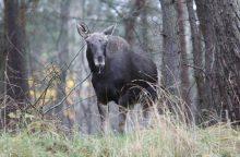 Miškų reforma: valdininkai pasiklydo tarp trijų pušelių