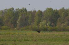 Čia tai bent: Trakų rajone pastebėtas rudasis lokys