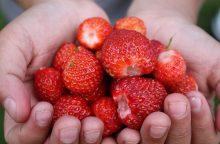 Kada sulauksime lietuviškų braškių derliaus?