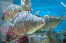 Žuvies augintojai paaiškino, kodėl žiemą karpiai būna patys skaniausi