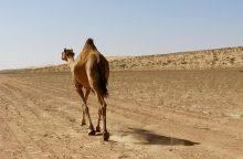 Kazachstane automobiliui susidūrus su kupranugariu žuvo penki žmonės