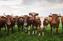 Mėsinių galvijų augintojai: dėl pašarų sunku konkuruoti su lenkais ir skandinavais