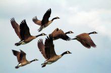 S. Paltanavičius: atsakomybė už prijaukintus paukščius tenka mums patiems