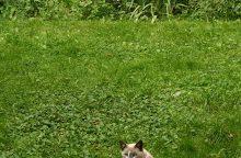 Faktai apie vieną populiariausių pasaulyje naminių gyvūnų – kates