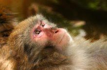 Beždžionė Kenijoje trims valandoms išjungė elektrą