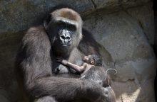 JAV zoologijos sode pasaulio šviesą išvydo retos gorilos jauniklis