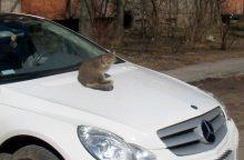 Katinas uždarbiauja taksi