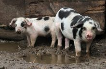 Kiaulių maras: grėsmė iš pasienio nesitraukia